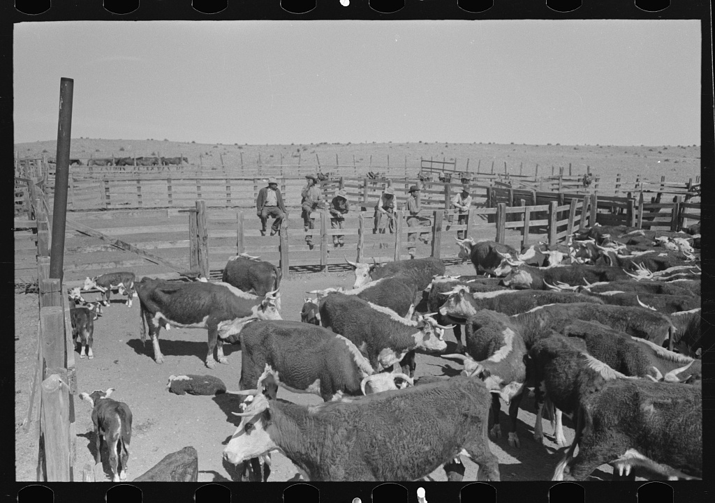 Cattle in corral at roundup near Marfa, Texas