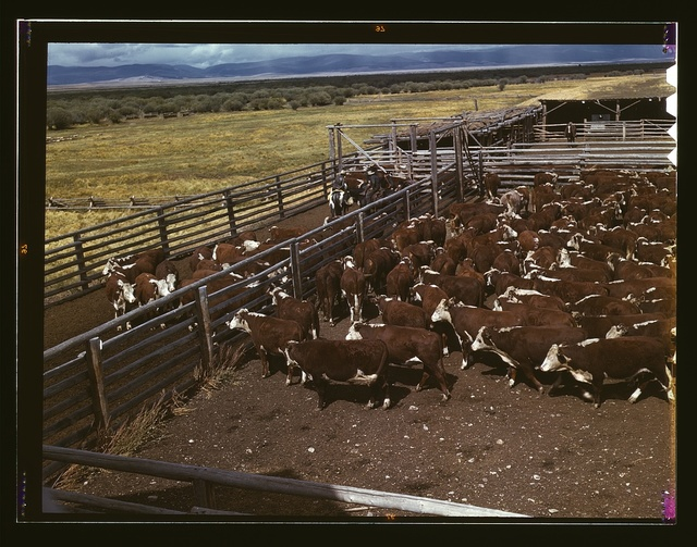 Cattle in corral waiting to be weighed before being trailed to railroad, Beaverhead County, Montana
