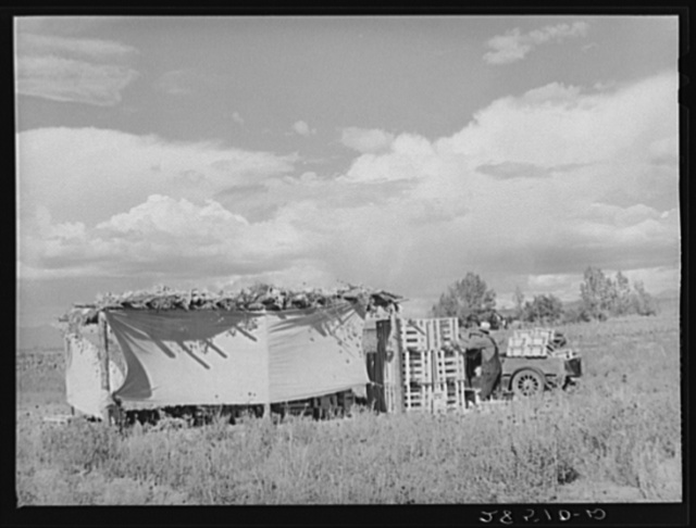 Cauliflower checking shed on the farm of FSA (Farm Security Administration) rehabilitation client Serepio Medina. Costilla County, Colorado