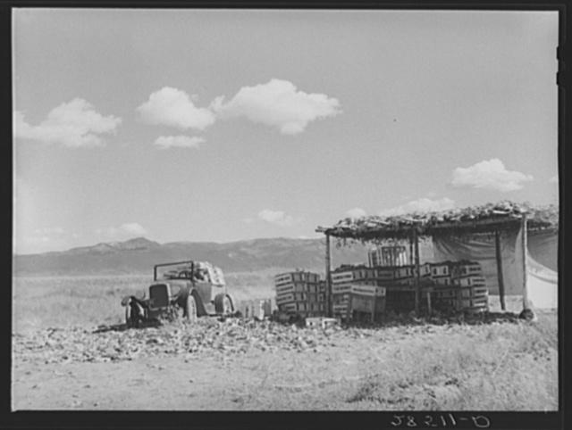 Cauliflower checking shed on the farm of FSA (Farm Security Administration) rehabilitation client Serepio Medina. Costilla County, Colorado