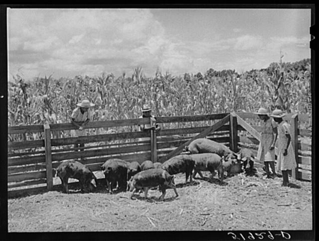 Children of Frederick Oliver, tenant purchase client, feeding hogs on their farm near Summerton, South Carolina