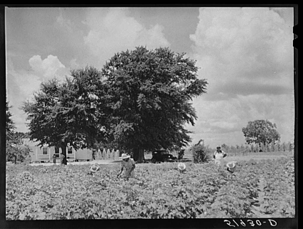 Children of Frederick Oliver, tenant purchase client, picking squares in cotton field. Summerton, South Carolina