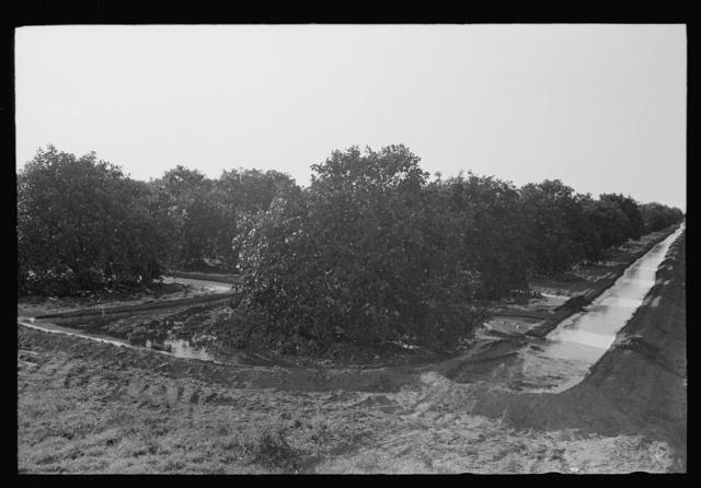 Citrus grove being irrigated near San Juan, Texas