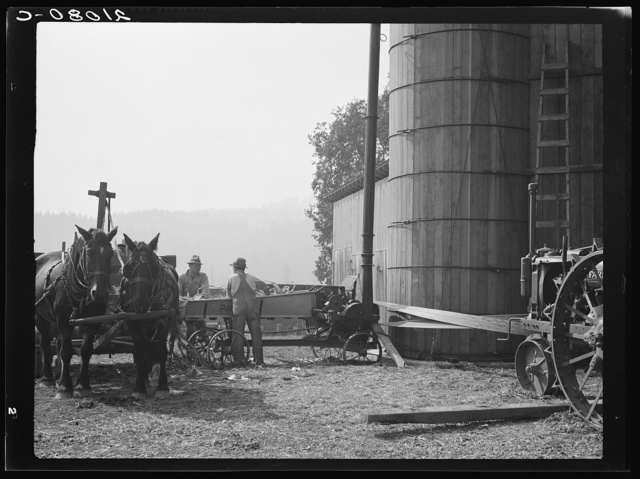 Cooperating farmers feeding corn from the wagon through the ensilage cutter from which it is blown through the pipe into the silo. Near West Carlton, Yamhill County, Oregon. General caption number 58