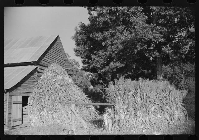 Corn shocks against barn, on road toward Frogsboro, Caswell County, North Carolina