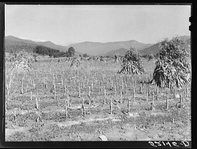 Corn shocks. Smokey Mountains near Black Mountain, North Carolina