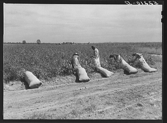 Cotton pickers on Mileston Plantation. Mississippi Delta, Mississippi