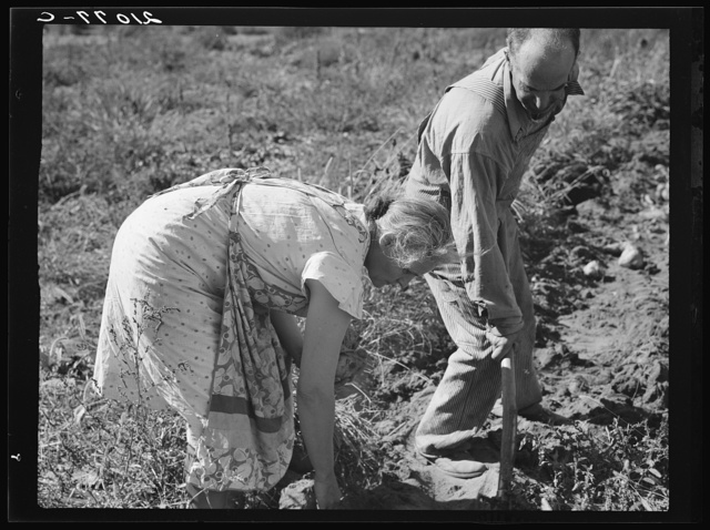 Couple digging their sweet potatoes in the fall. Irrigon, Morrow County, Oregon. General caption 59