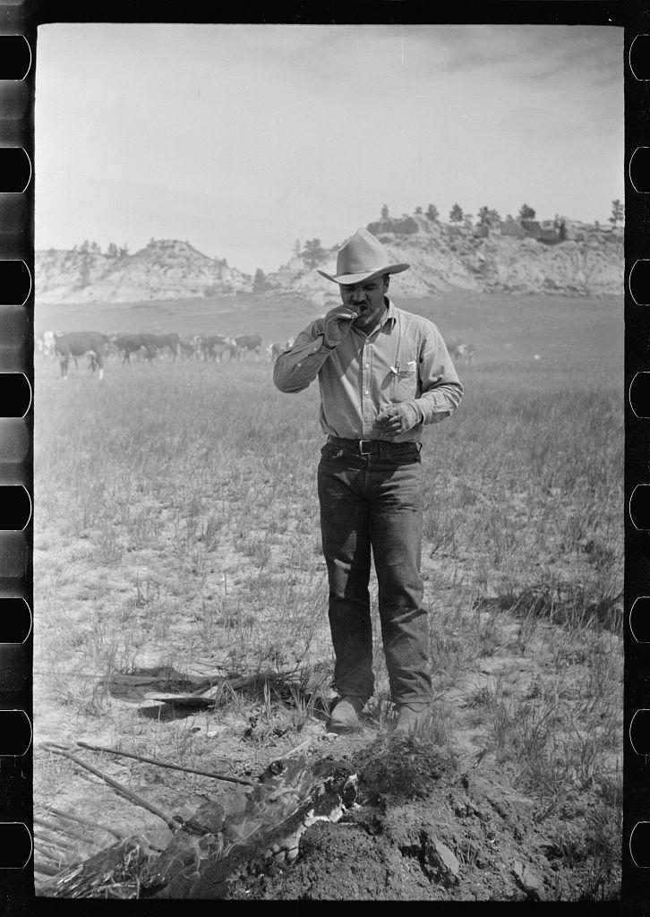 "Cowboy eating ""Rocky Mountain oysters,"" Quarter Circle U Ranch roundup, Montana"