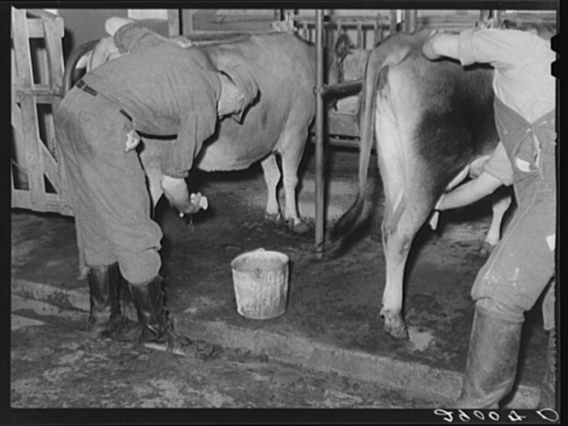 Cows are washed before milking machines are attached. Bois d'Arc Cooperative. Osage Farms, Missouri