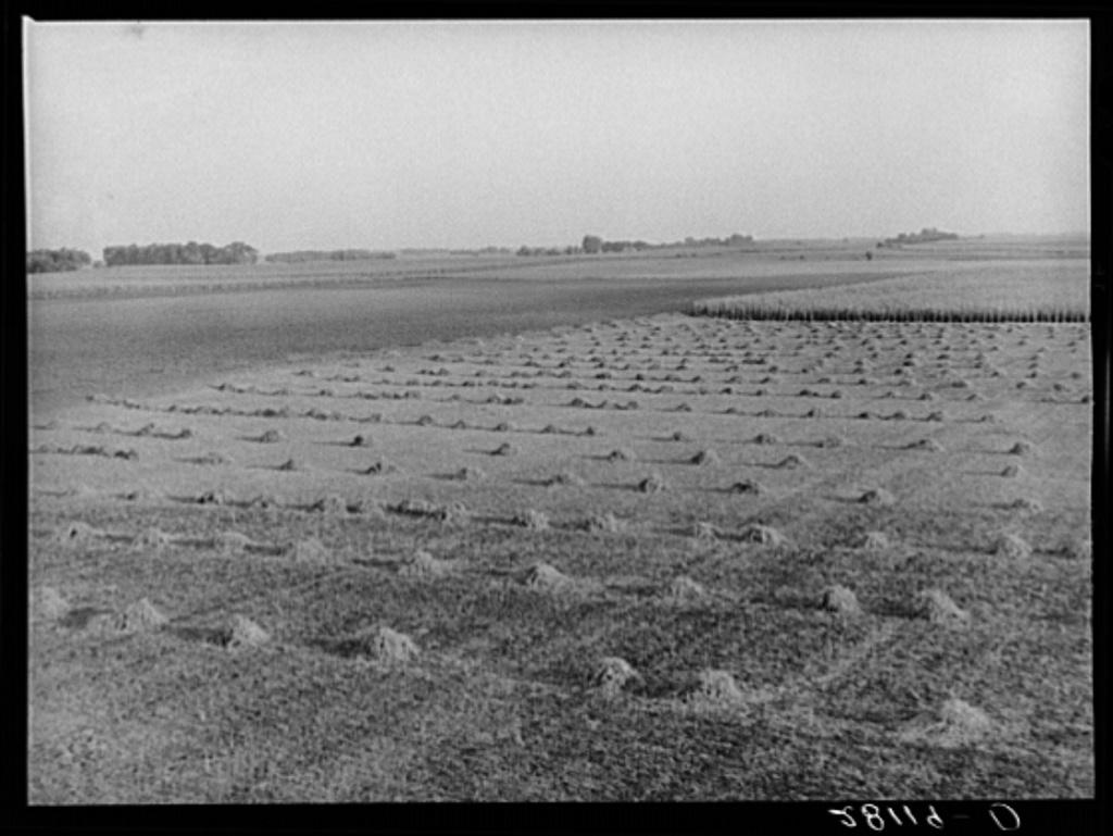 Crop rotation: one field is fallow, another has corn, a third has alfalfa. Hardin COunty, Iowa