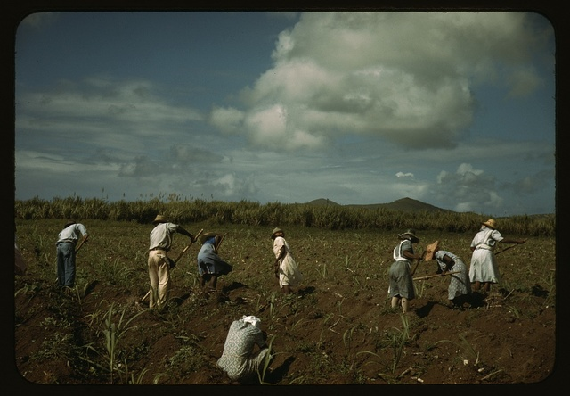 Cultivating sugar cane on the Virgin Islands Company land, vicinity of Bethlehem, St. Croix