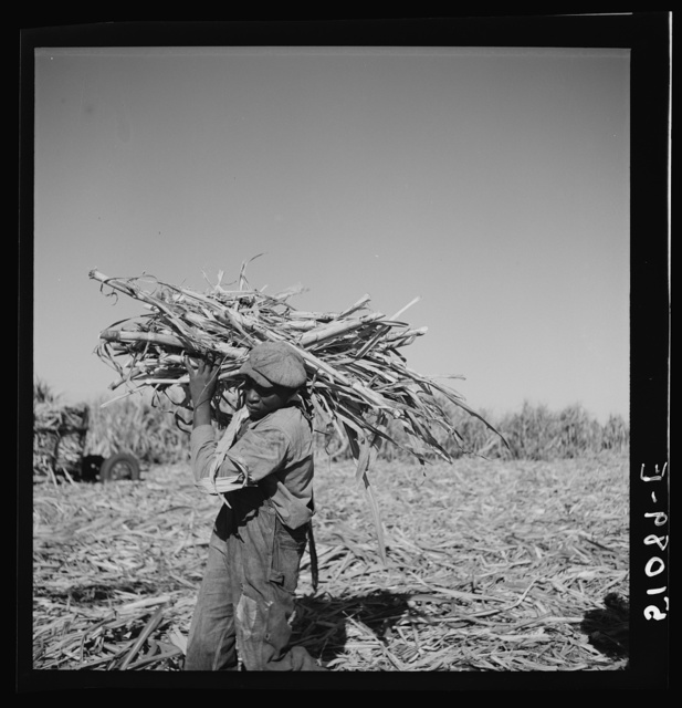 Cut sugarcane being carried to the trucks for USSC (United States Sugar Corporation). Clewiston, Florida