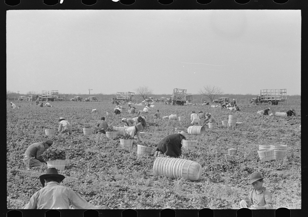 Cutting and packing spinach, La Pryor, Texas