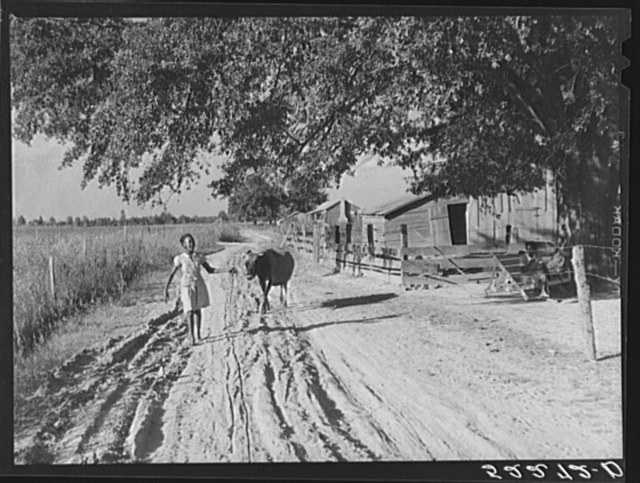 Daughter of Cube Walker, Negro tenant purchase client, Belzoni, Mississippi Delta, bringing home cow from the fields in the evening. Mississippi Delta, Mississippi
