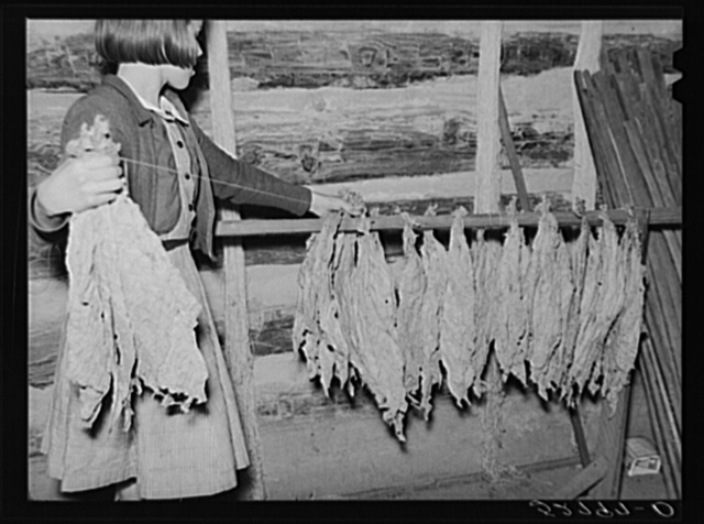"""Daughter of Mr. and Mrs. Fred Wilkins helping """"take off"""" the tobacco for grading and stripping in the strip house on their farm. Tallyho, near Stem, Granville County, North Carolina. See subregional notes (Odum). November 16, 1939"""