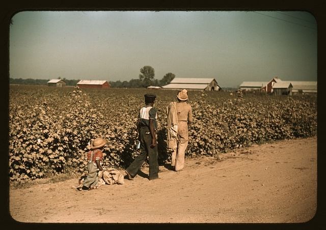 Day laborers picking cotton near Clarksdale, Miss.