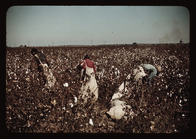 Day-laborers picking cotton near Clarksdale, Miss.