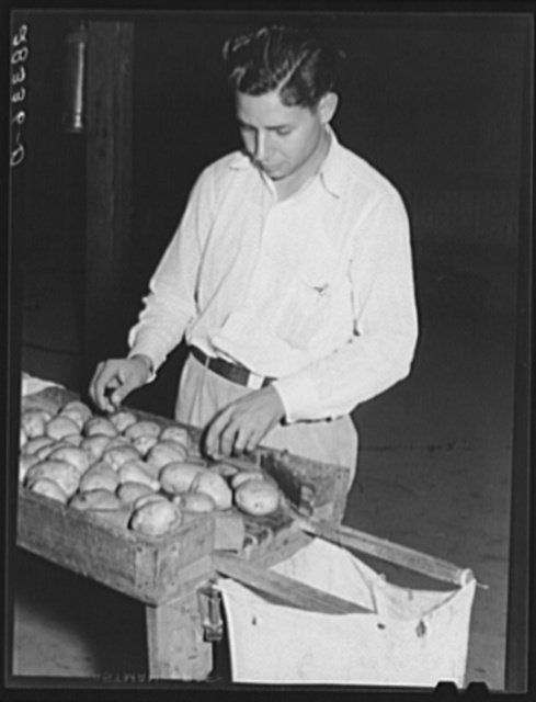 Department of Agriculture inspector grading potatoes. Monte Vista, Colorado