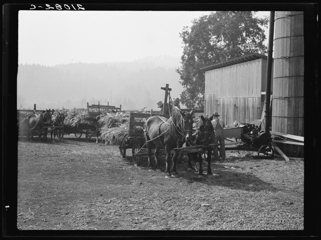Each farmer brings his own wagon and team for the day's work. Note ensilage cutter cooperatively owned by eight farmers in use. Near West Carlton, Yamhill County, Oregon