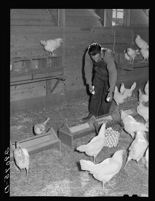 Eggs are carefully graded to obtain premium market price. Hillview Cooperative, Osage Farms, Missouri