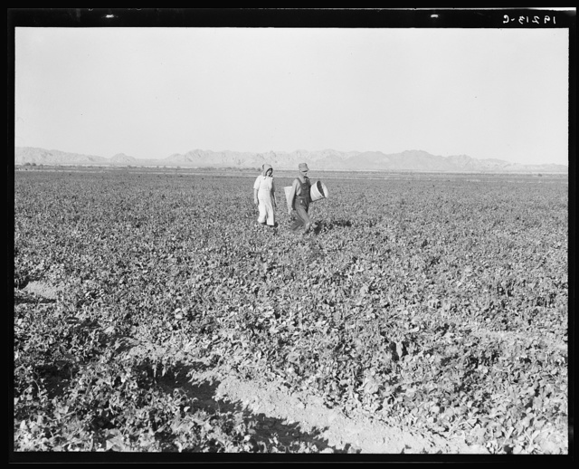 End of the day. Near Calipatria, California. Pea fields