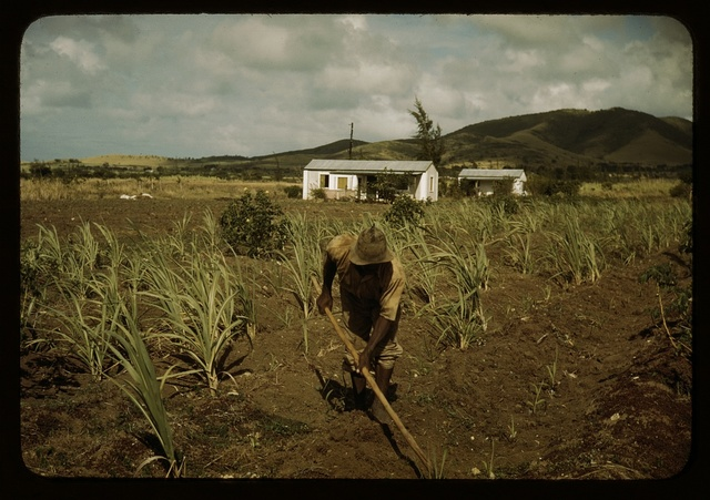 Farm Security Administration borrower cultivating his sugar cane field, vicinity of Frederiksted, St. Croix, Virgin Islands. He lives in one of the homestead houses