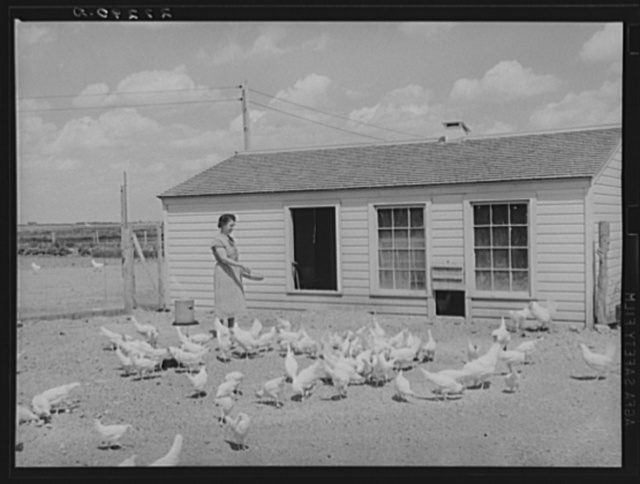 Farm wife feeding chickens at Fairfield Bench Farms, Montana