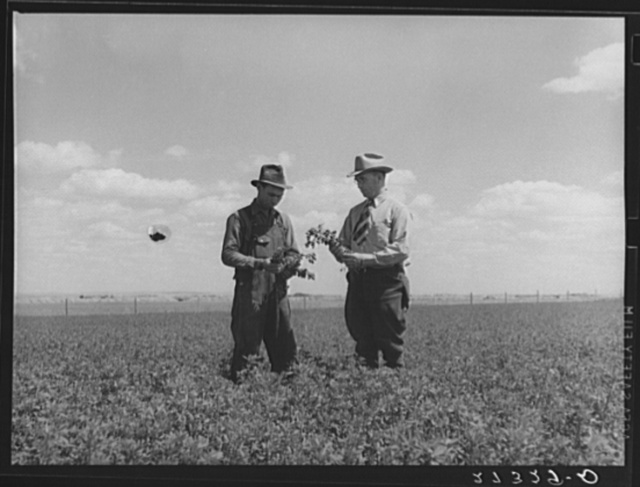Farmer and project manager looking over field of alfalfa. Fairfield Bench Farms, Montana