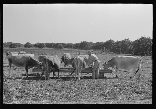 Farmer feeding cattle silage from trench silo, Hidalgo County, Texas. Livestock and dairy farming is on the upgrade in this section. Citrus fruits, citrus pulps, carrots and cabbages are accepted cattle feed in this section