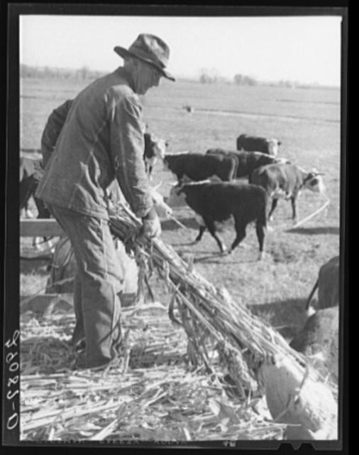 Feeding Hereford cattle. Bois d'Arc Cooperative, Osage Farms, Missouri