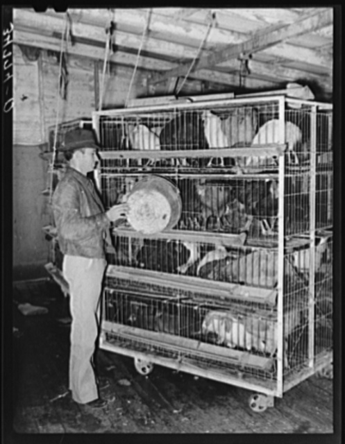 Feeding poultry in pens at cooperative poultry house. Brownwood, Texas