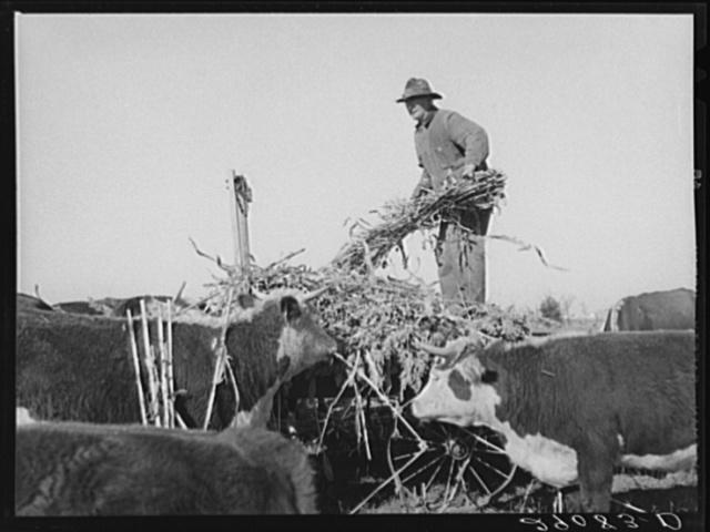Feeding sorgo to Hereford cattle. Bois d'Arc Cooperative. Osage Farms, Missouri