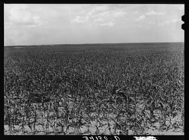 Field of kaffir corn which is now growing on the Bosley reogranization unit. Baca County, Colorado