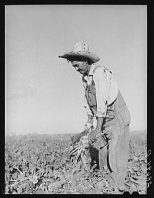 Field worker topping sugar beets. Adams County, Colorado