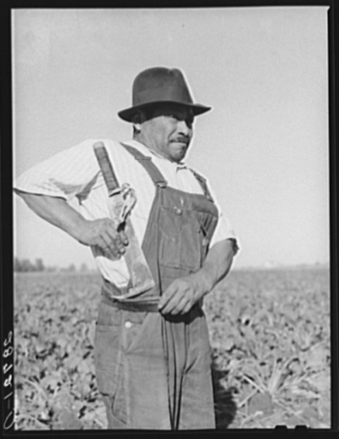 Field worker with knife used in topping sugar beets. Adams County, Colorado