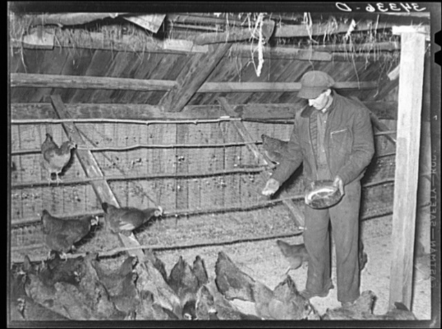 FSA (Farm Security Administration) client feeding his chickens on farm near Bradford, Vermont. Orange County