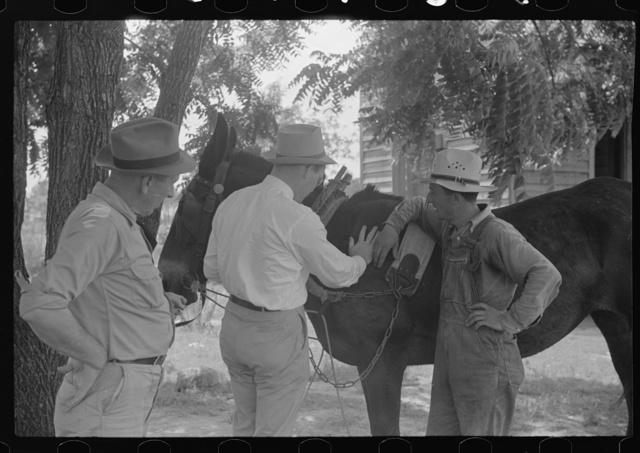 FSA (Farm Security Administration) supervisors examining rehabilitation borrower's mule, Greene County, Georgia
