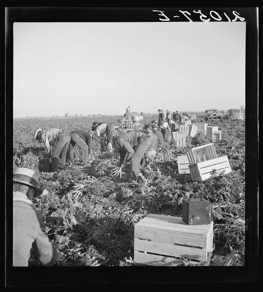 Gang of migratory carrot pullers in field. Wages: fourteen cents per crate of forty eight bunches. Imperial Valley, California