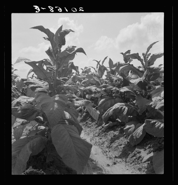 Good tobacco, topped and ready for priming. Granville County, North Carolina