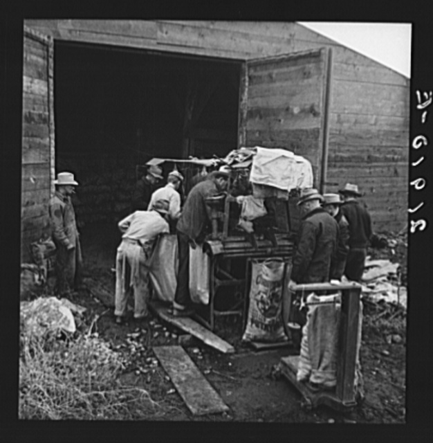 Grading potatoes, preparing for shipment, cold, rainy morning, end of harvesting season. Potatoes have been stored in this grower's cellar. Ten miles south of Merrill, Klamath County, Oregon