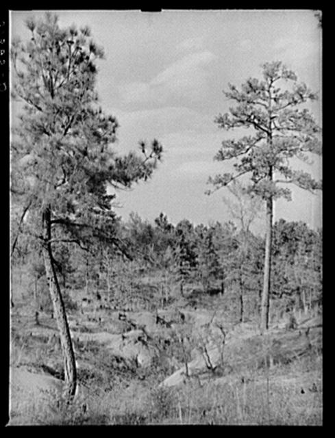 Gullied land and pine trees near Atlanta, Georgia