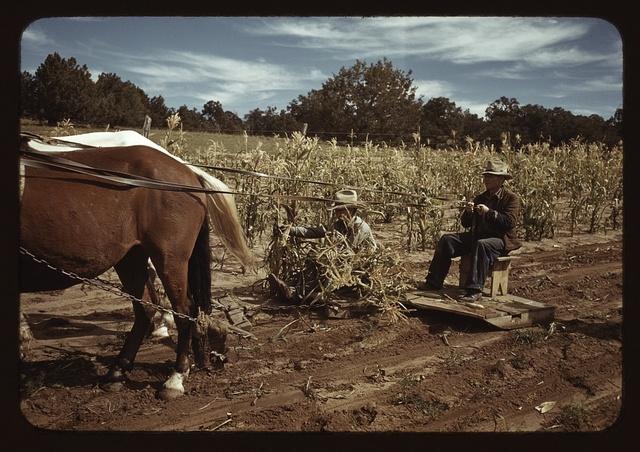 Harvesting corn, Pie Town, New Mexico