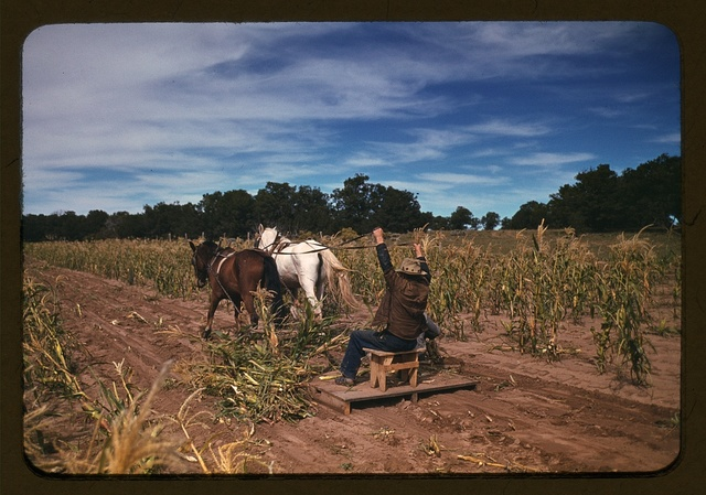 Harvesting new corn from the field of Jim Norris, Pie Town, New Mexico