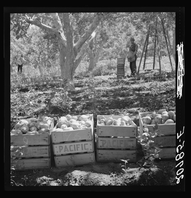 Harvesting pears, Pleasant Hill Orchards. Washington, Yakima Valley. See general caption number 34