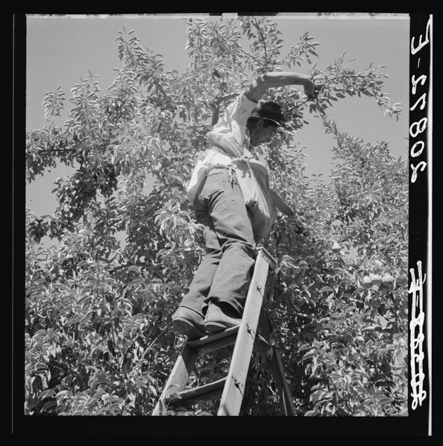 Harvesting pears requires agility and balance. Washington, Yakima Valley. See general caption number 34
