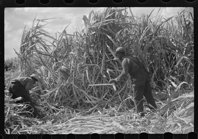 Harvesting sugarcane, United States Sugar Corporation, Clewiston, Florida
