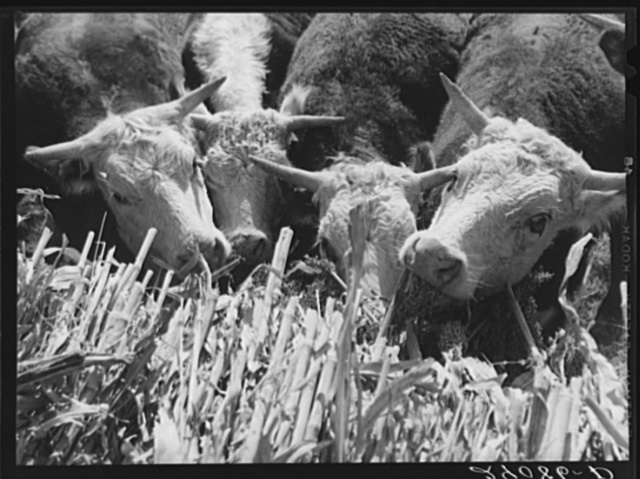 Hereford cattle are fattened on sorgo. Bois d'Arc Cooperative. Osage Farms, Missouri
