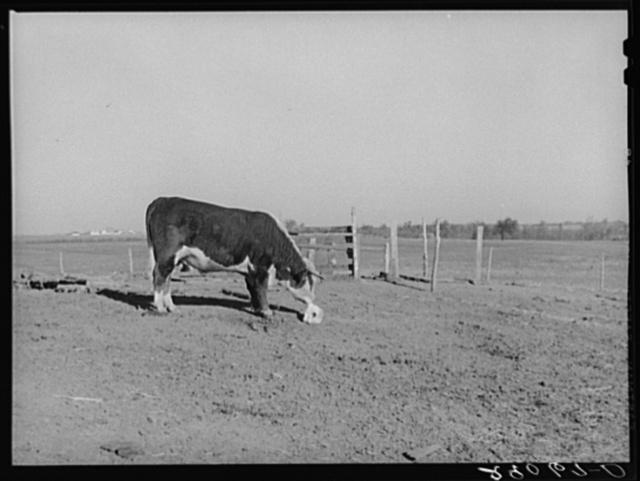 Hereford steer at salt block. Bois d'Arc Cooperative, Osage Farms, Missouri