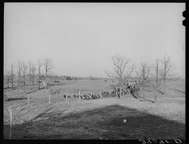 Hogs are driven in from the field at the Bois d'Arc Cooperative. Osage Farms, Missouri